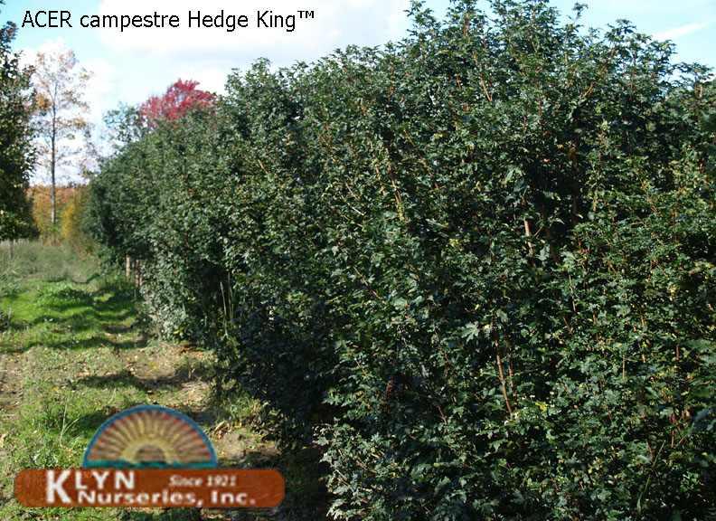 Acer Campestre Hedge King Hedge King Hedge Maple