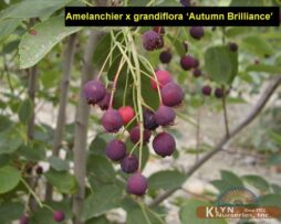 Amelanchier x g Autumn Brilliance 3