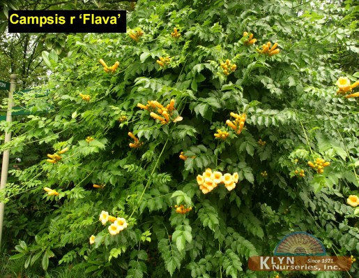 campsis radicans 39 flava 39 klyn nurseries inc. Black Bedroom Furniture Sets. Home Design Ideas