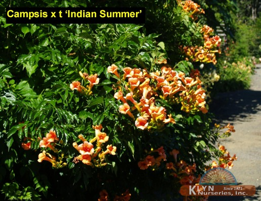 Campsis X Tagliabuana Indian Summer Trumpet Creeper