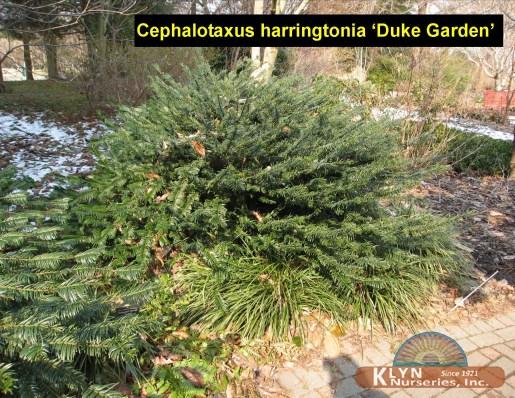 Cephalotaxus harringtonia 39 duke garden 39 klyn nurseries inc for Duke gardens plum yew