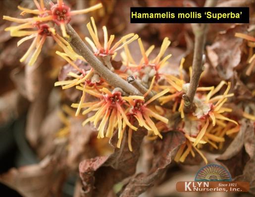 Hamamelis Mollis Superba Superba Witchhazel