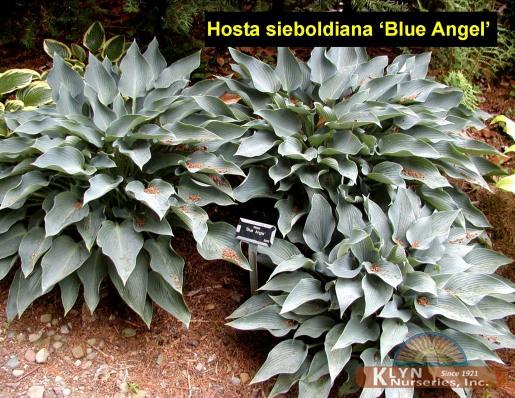 Hosta Sieboldiana Blue Angel Klyn Nurseries Inc