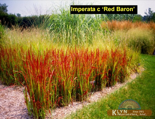 imperata cylindrica 39 red baron 39 klyn nurseries inc. Black Bedroom Furniture Sets. Home Design Ideas