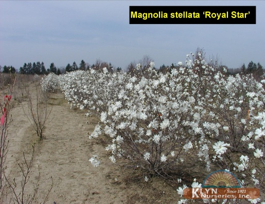 magnolia stellata 39 royal star 39 klyn nurseries inc. Black Bedroom Furniture Sets. Home Design Ideas