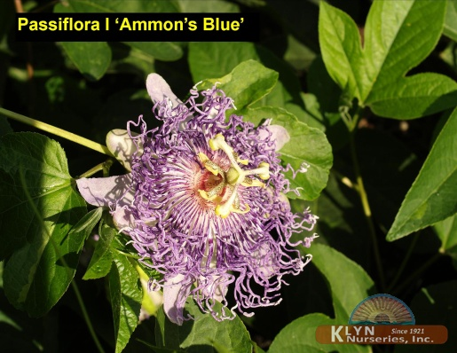 Passiflora Incarnata Ammon S Blue Klyn Nurseries Inc