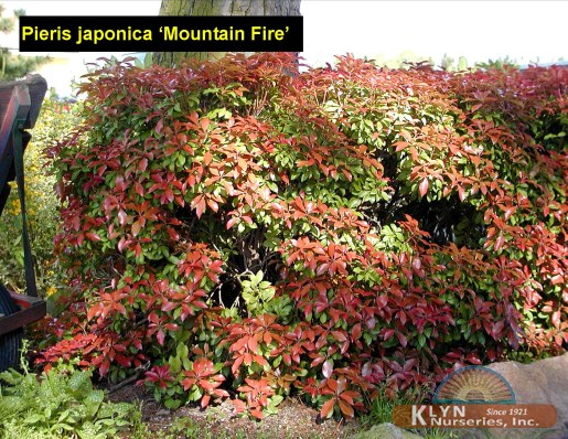 pieris japonica 39 mountain fire 39 klyn nurseries inc. Black Bedroom Furniture Sets. Home Design Ideas