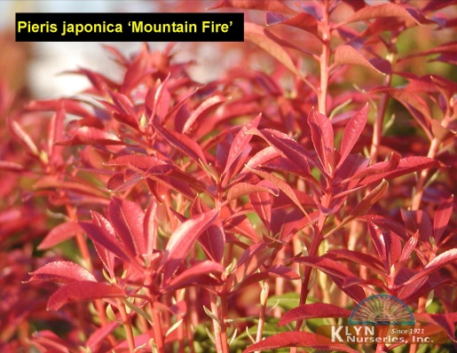 pieris japonica 39 mountain fire 39 klyn nurseries inc. Black Bedroom Furniture Sets. Home Design Ideas