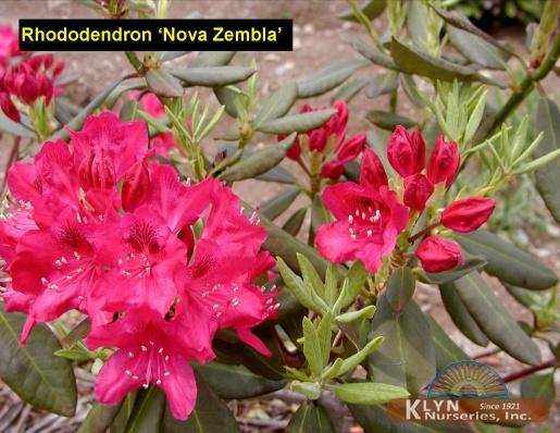 rhododendron 39 nova zembla 39 klyn nurseries inc. Black Bedroom Furniture Sets. Home Design Ideas