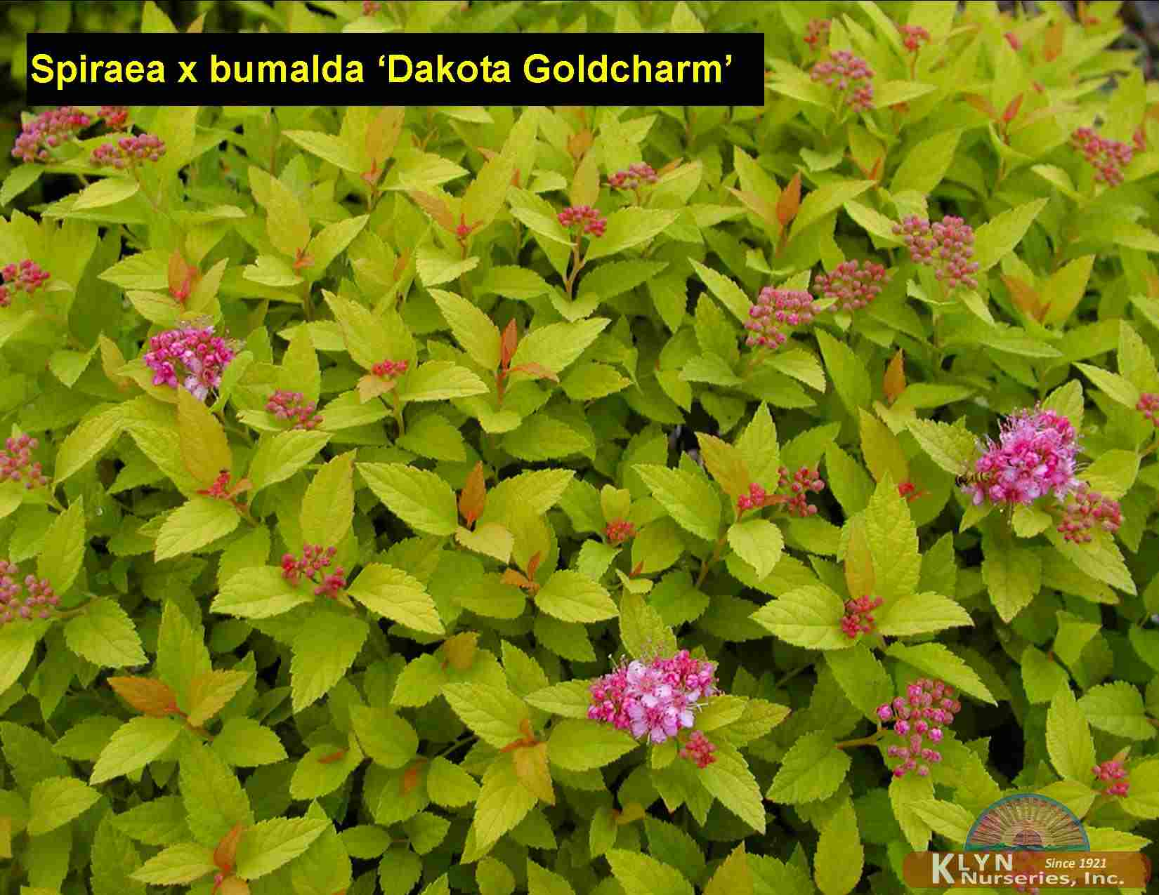 Spiraea X Bumalda Dakota Goldcharm Klyn Nurseries Inc
