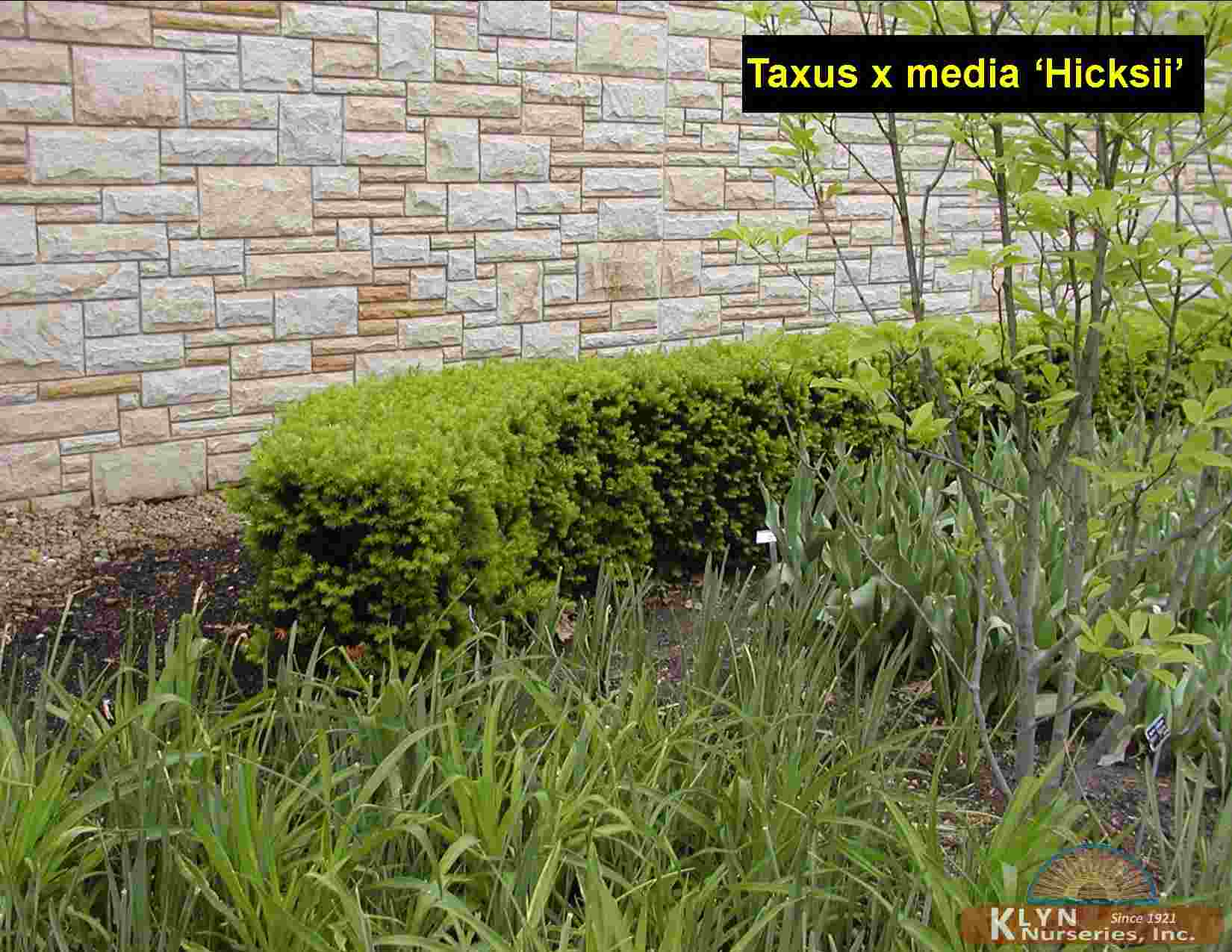 taxus x media 39 hicksii 39 klyn nurseries inc. Black Bedroom Furniture Sets. Home Design Ideas