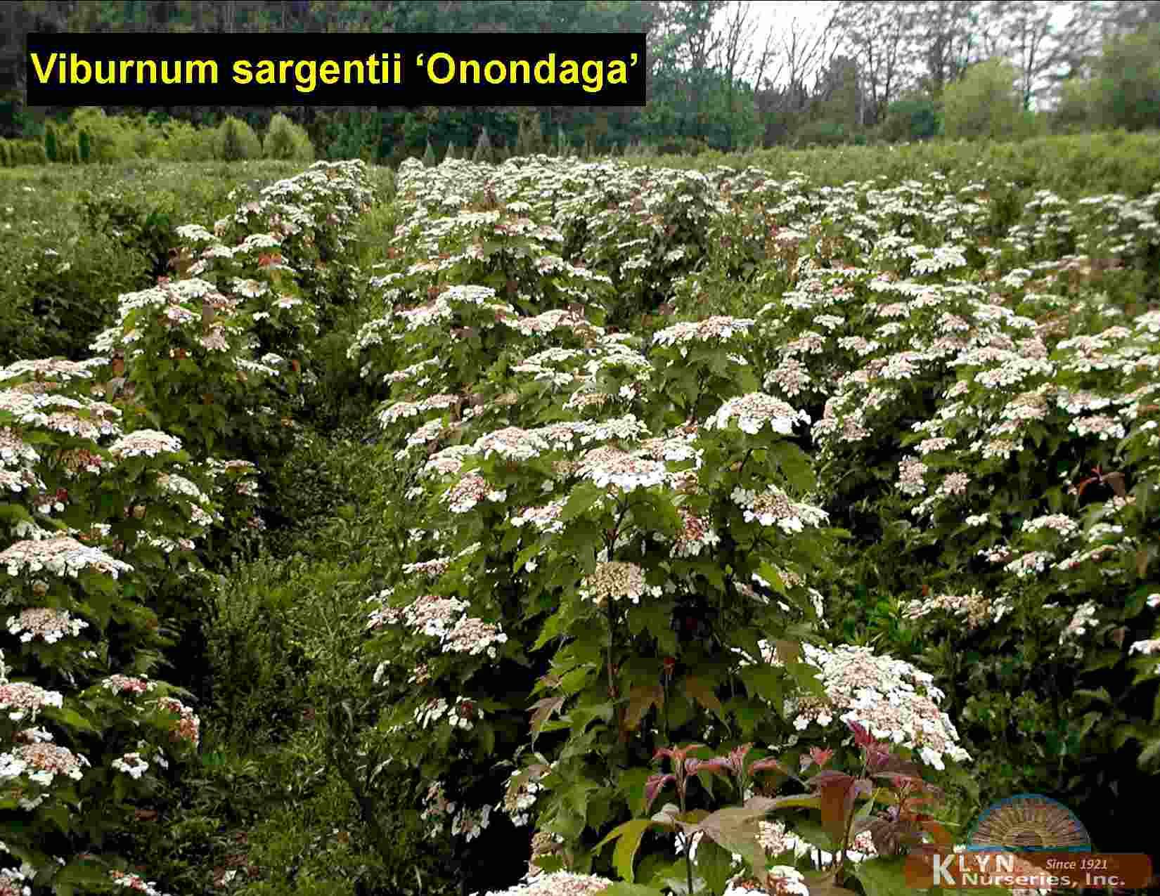 Expandable Tableview Swift Viburnum Sargentii Onondaga Viburnum Sargentii Onondaga