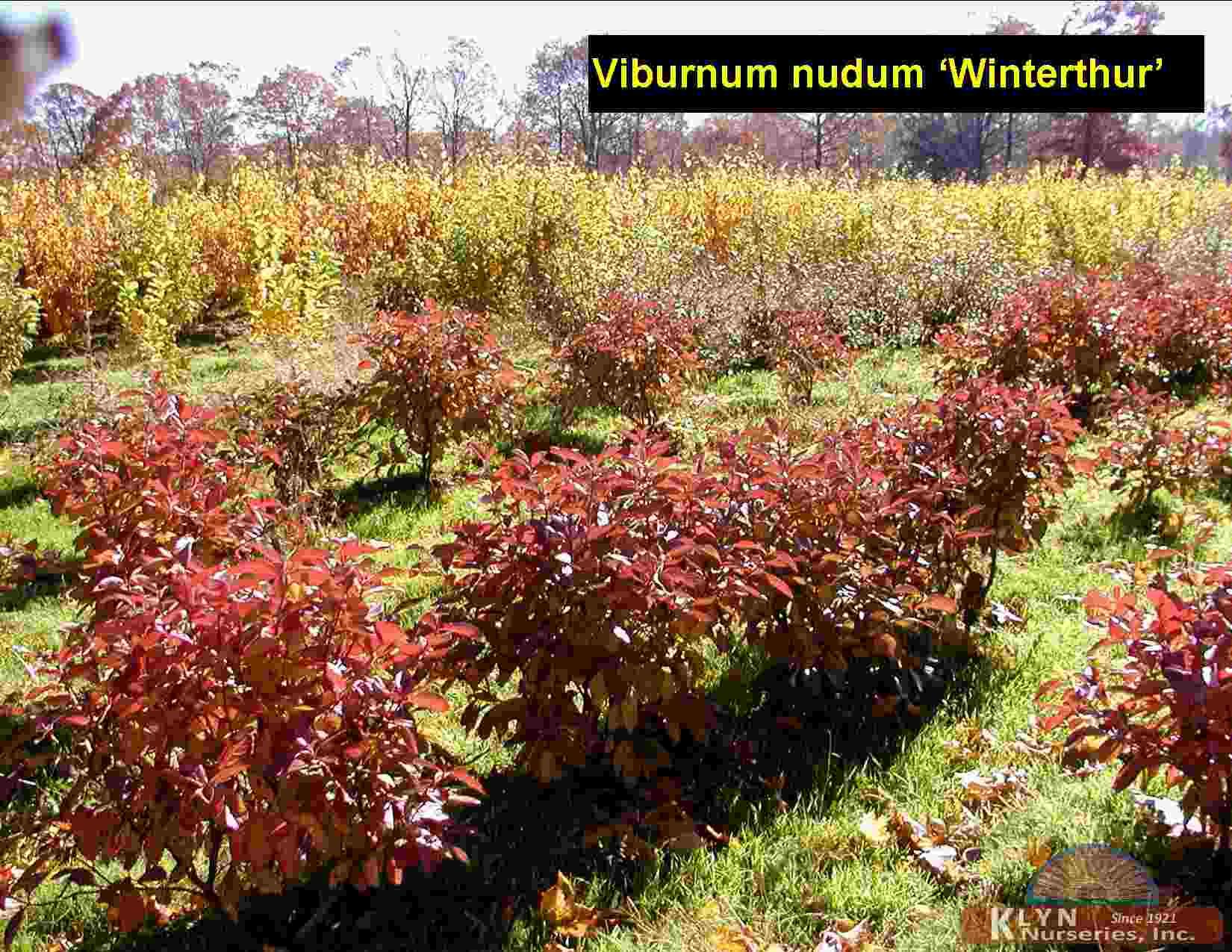 VIBURNUM nudum 'Winterthur' - Klyn Nurseries Inc.