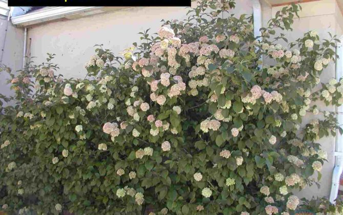 Viburnum plicatum kerns pink klyn nurseries inc viburnum pl kerns pink mightylinksfo