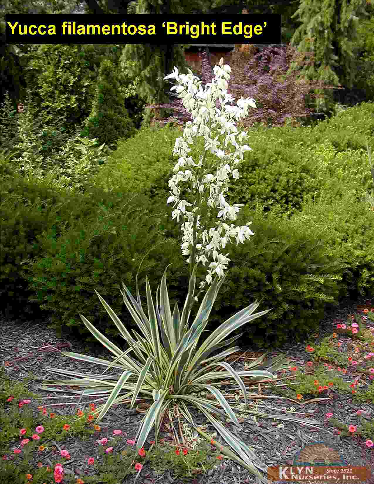 yucca filamentosa 39 bright edge 39 klyn nurseries inc. Black Bedroom Furniture Sets. Home Design Ideas