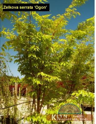 Zelkova serrata ogon klyn nurseries inc zelkova s ogon thecheapjerseys Choice Image