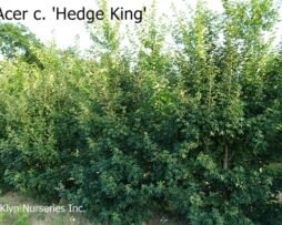 Acer c. 'Hedge King'