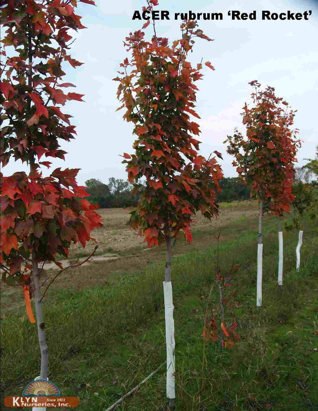 Acer Rubrum Red Rocket Red Rocket Red Maple