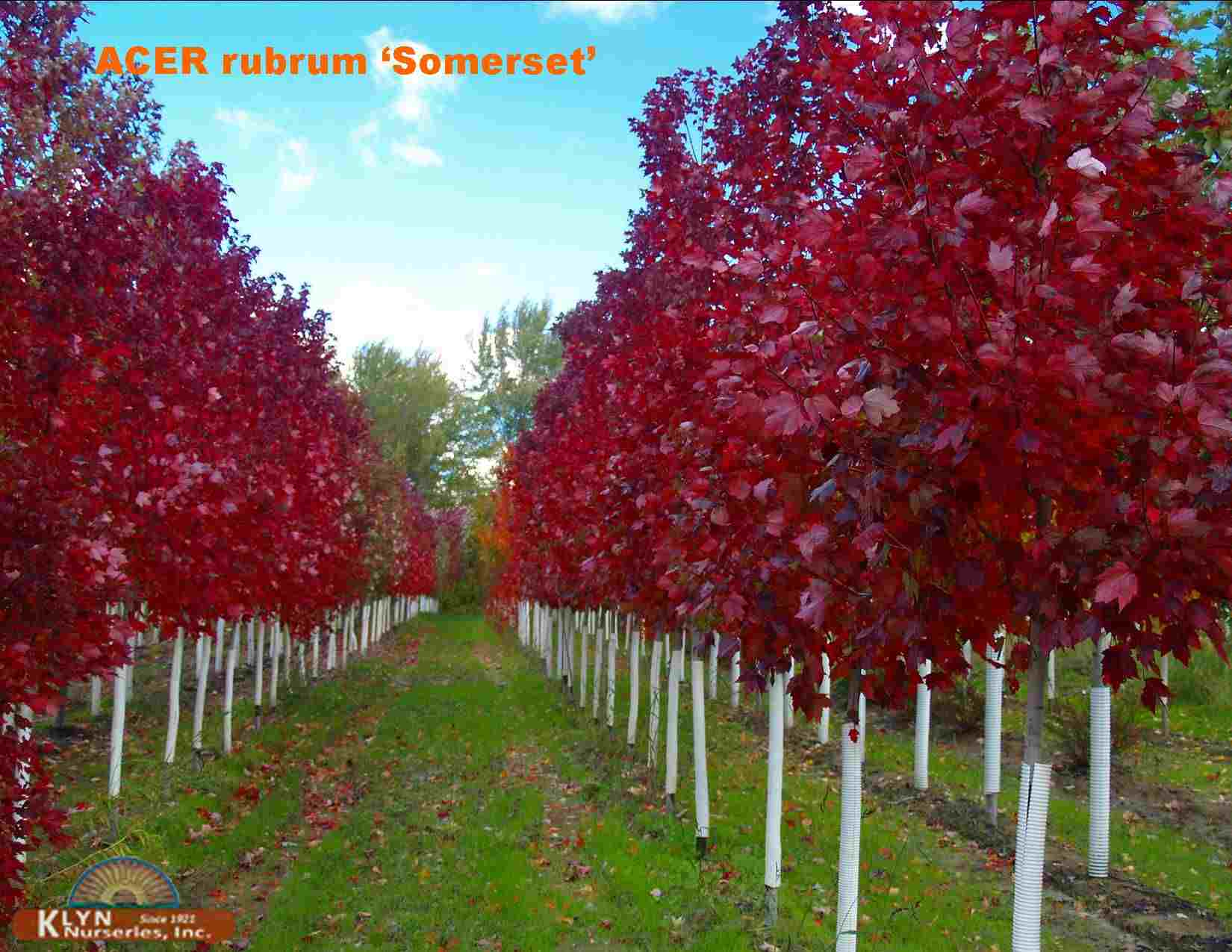 Acer Rubrum Somerset Somerset Red Maple
