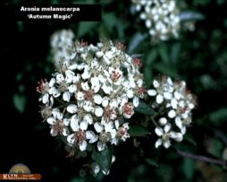aronia m autumn magic 2