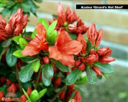 azalea girards hot shot