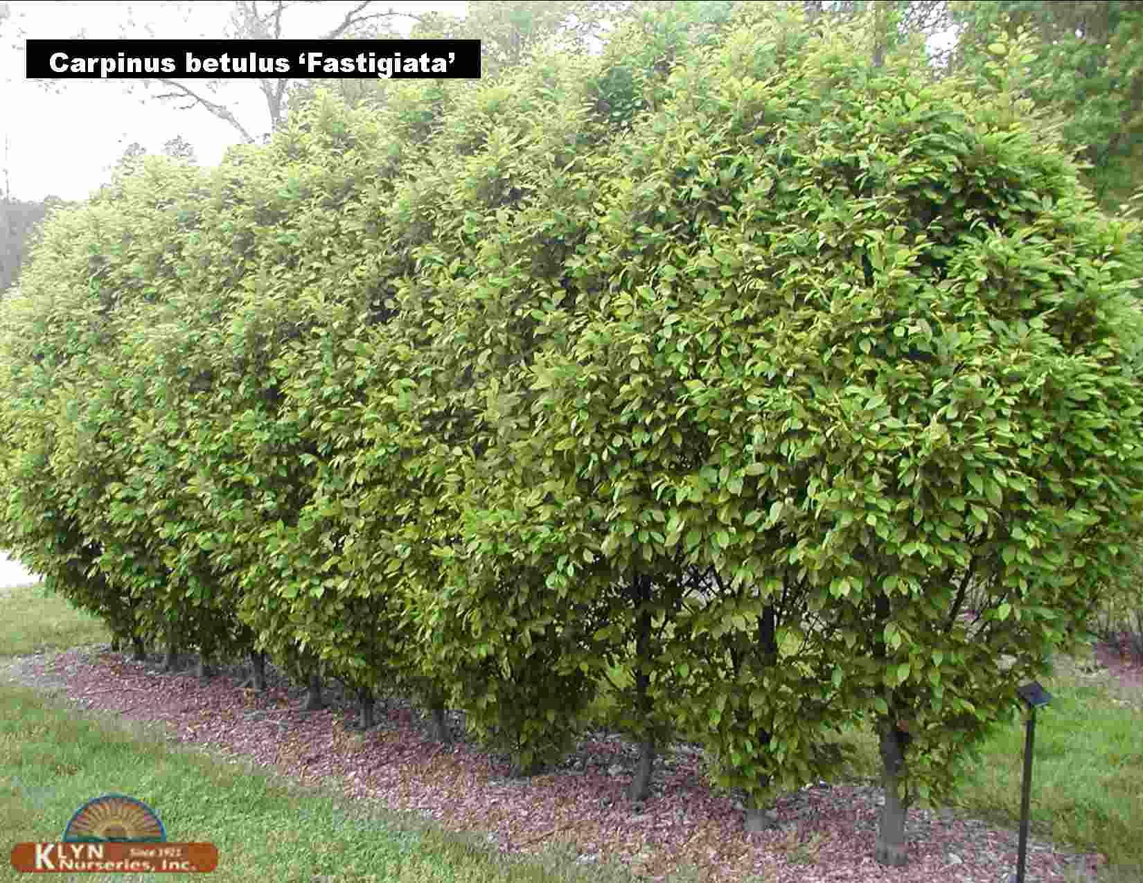 Carpinus Betulus Fastigiata Pyramidal European Hornbeam