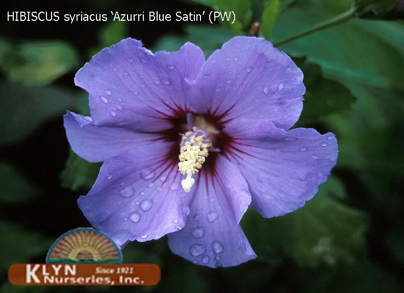Hibiscus Syriacus Azurri Blue Satin Rose Of Sharon